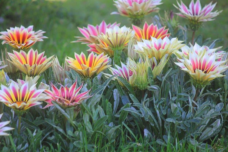 Gazania flowers in the garden. A garden with gazania flowers royalty free stock photos