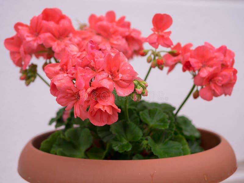 Garden geranium flower in a pot. Close up shot stock photos
