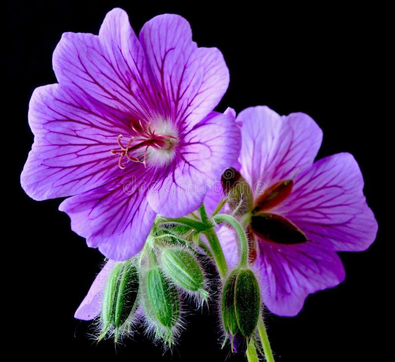Garden geranium (Ger. � magnificum) stock photography