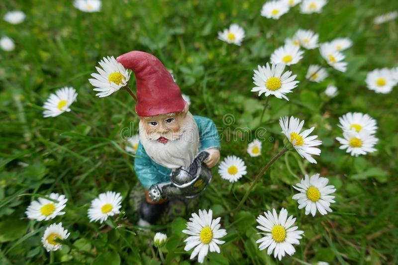 Garden Gnome with watering can  stands on a meadow  between daisies stock images