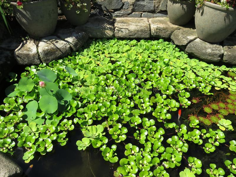 Garden Goldfish Pond d'évêque image stock