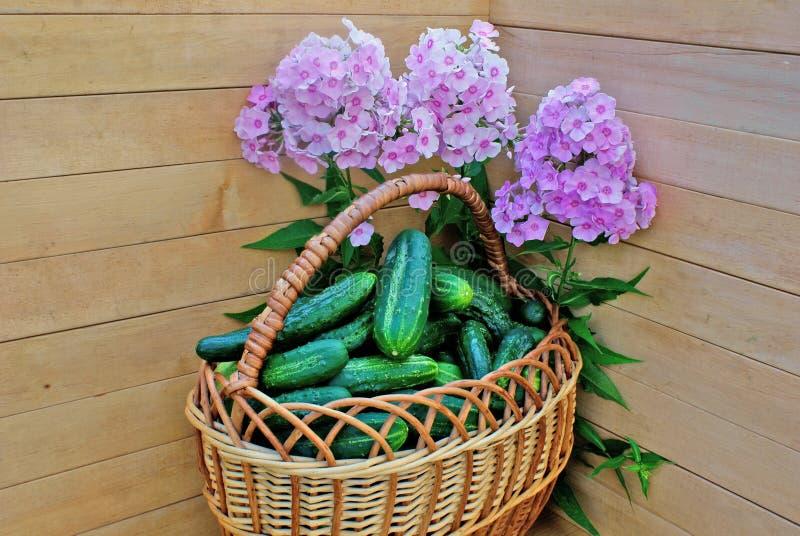 Garden green cucumber in wicker lug royalty free stock photos