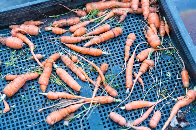 Garden grown carrots freshly plucked from dirt. On a tray royalty free stock images