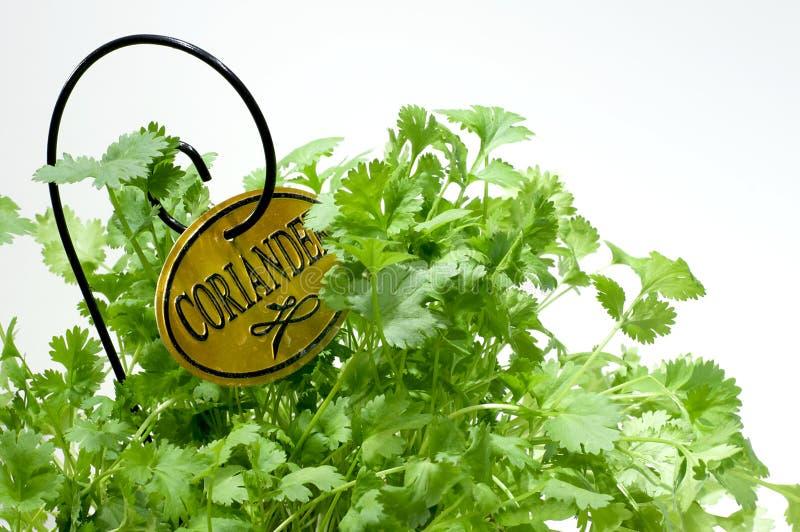Garden Herb - Coriander stock photos
