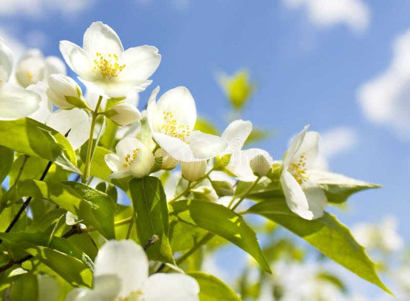 Garden jasmin. Branch of garden jasmin in blossom with white flowers on blue sky royalty free stock image