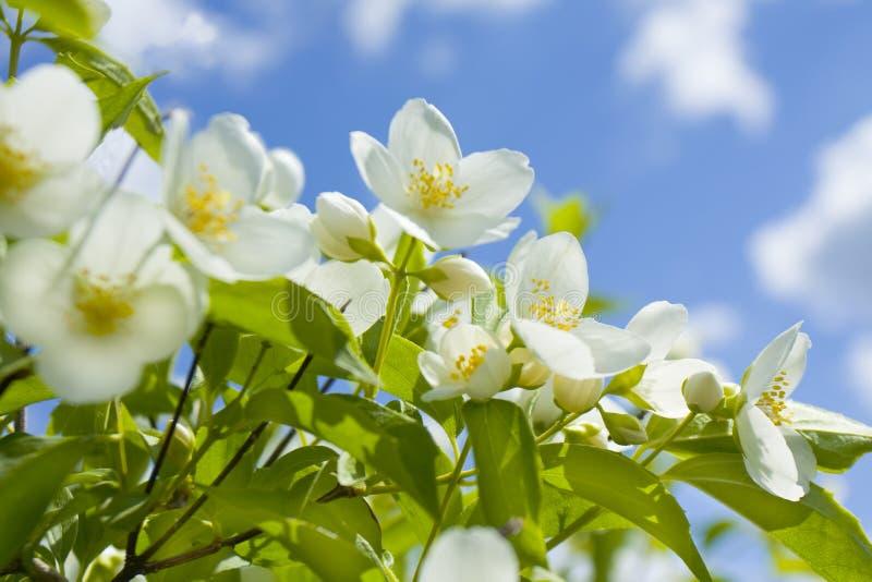 Garden jasmin. Branch of Garden jasmin on blue sky, horizontal stock images