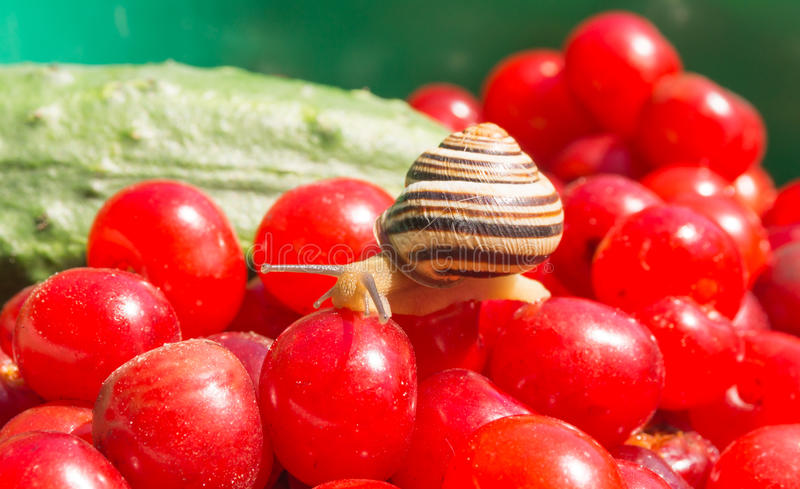 Garden land snail. Tiny inhabitant of the garden - land snail in the background of a fresh harvest. The freshness and friendliness stock photo