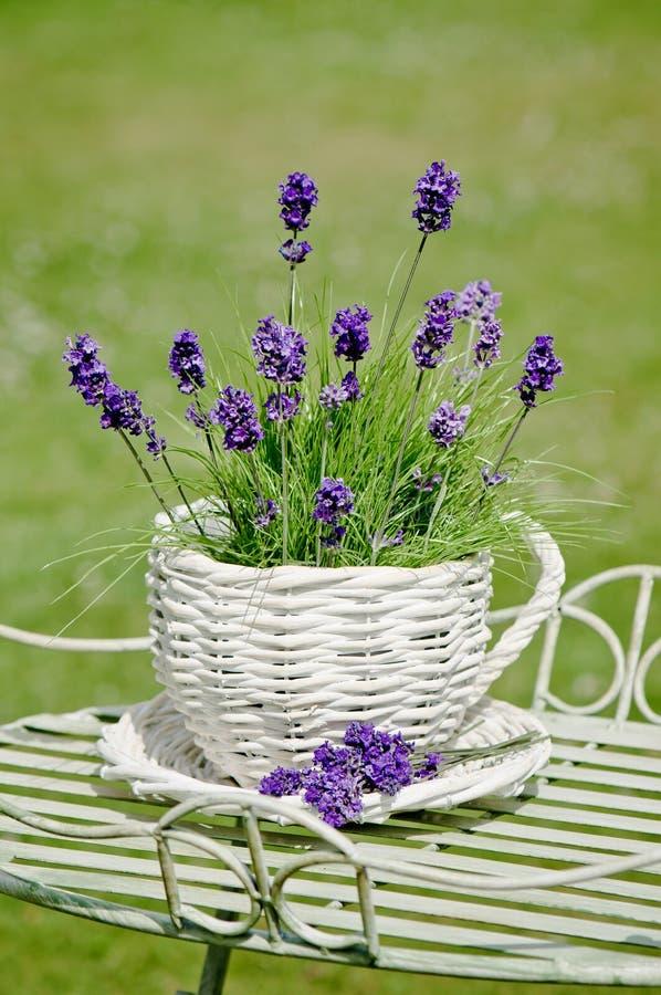 Download Garden Lavender stock photo. Image of plant, table, flowerpot - 15083414