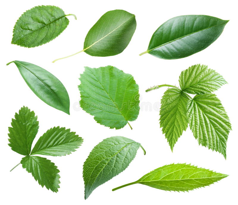 Download Garden leaves stock photo. Image of close, citrus, maple - 23215248