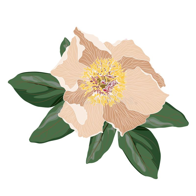 Garden light beige peony with green leaves. Watercolor, hand painted, isolated on white background. Vector illustration vector illustration