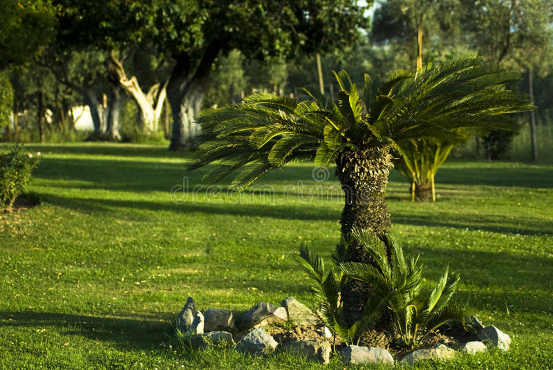 Garden with little palm tree and sod. View of garden with palm tree in foreground and olive trees in background stock images