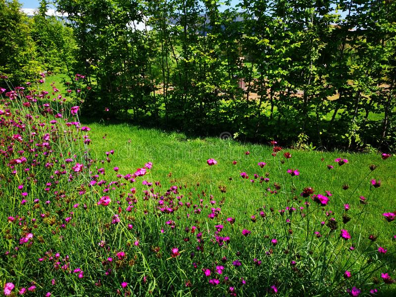 Garden with little purple flowers royalty free stock photos
