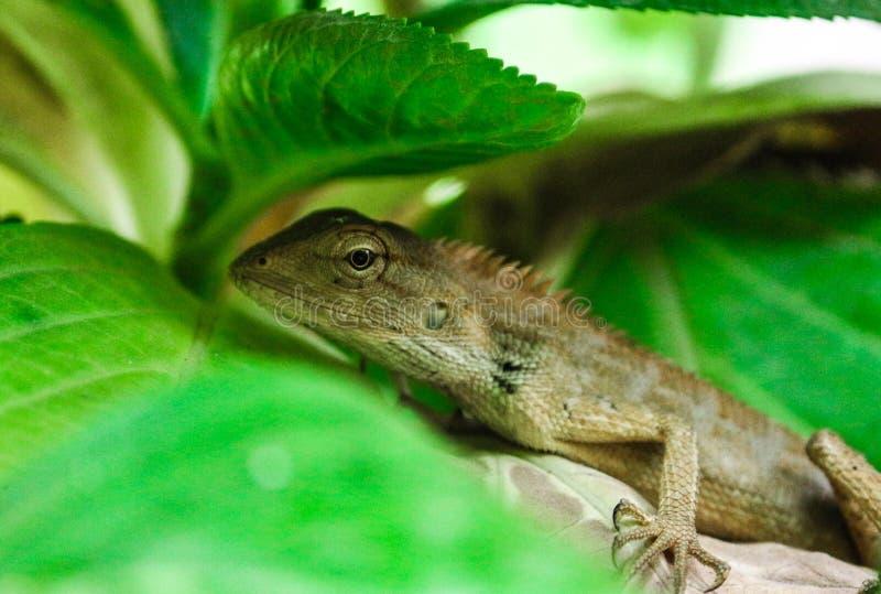 A Garden lizard stock images