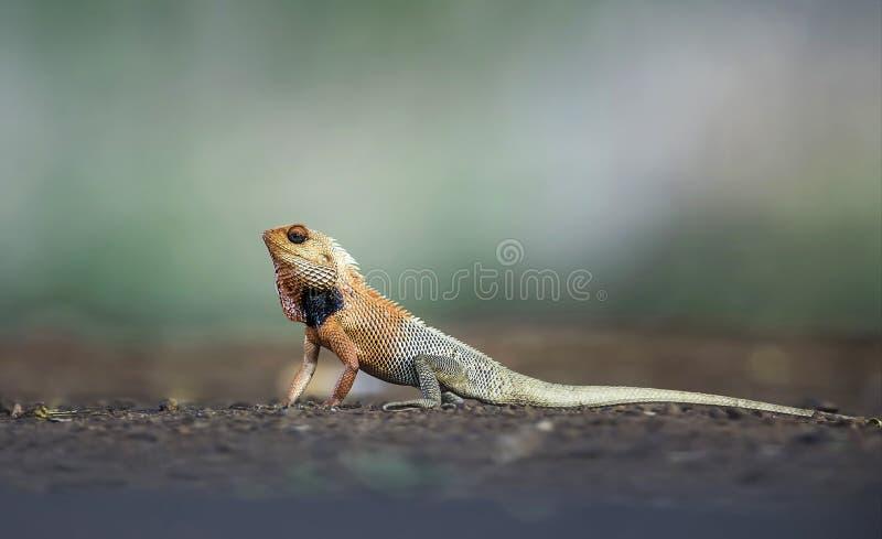 Garden lizard breeding colors, Calotes versicolor, Tadoba, Maharashtra, India. Garden lizard breeding colors, Calotes versicolor at Tadoba, Maharashtra, India stock photo