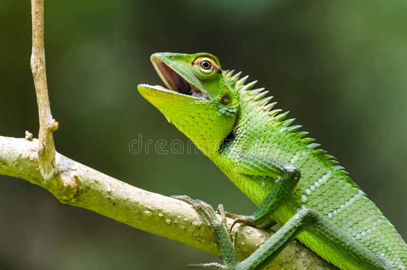 Garden Lizard Calotus calotus, Sri Lanka. Calotes calotes is an agamid lizard found in the forests of the Western Ghats and the Shevaroy Hills in India, and Sri stock image