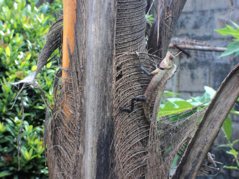 Garden Lizard. On a coconut tree stock images