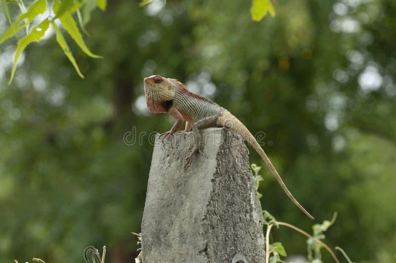 Garden lizard posing on a concrete pole near Pune, Maharashtra. Garden lizard posing on a concrete pole near Pune, Maharashtra stock image