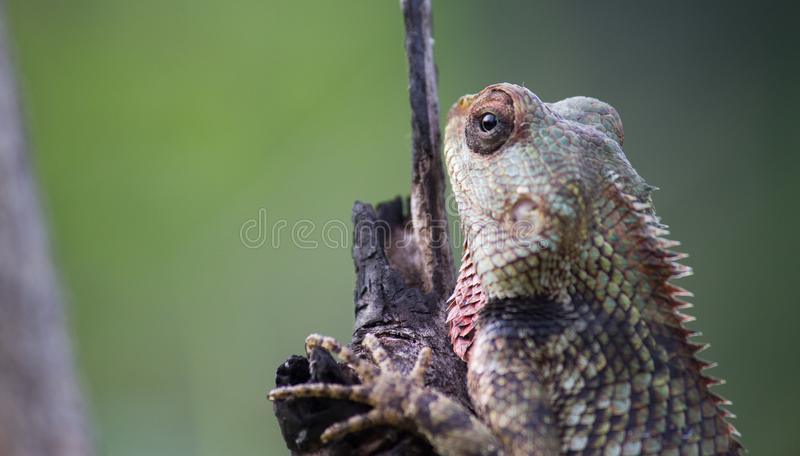 A Garden Lizard seen sitting on a log in the park royalty free stock photo