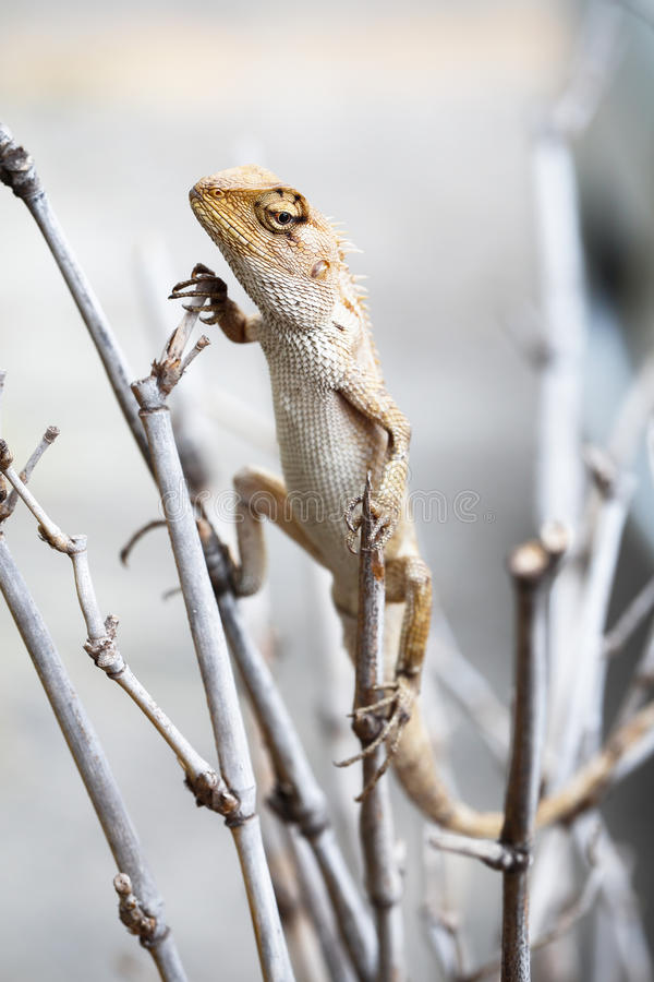 Garden lizard stock images