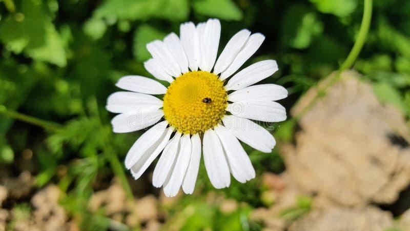 Garden, lonely daisy in spring. Nature, flower, plant, botanic, botany, landscape stock photos