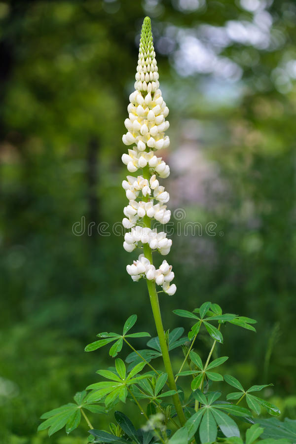 Download Garden Lupin flower stock image. Image of beautiful, beauty - 25226425