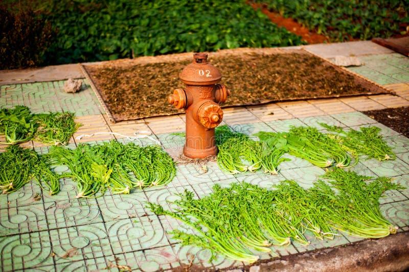Garden med kinesisk kål och brandsläckare royaltyfri foto