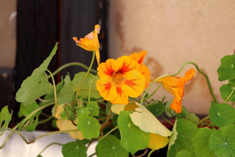 Garden nasturtium or Tropaeolum majus annual flowering plant with disc shaped leaves and bicolor light orange with red flowers. Garden nasturtium or Tropaeolum royalty free stock photography