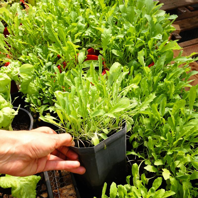 Garden nursery: hand holding plastic plant pot of Arugula or Rocket - also known as Rucola, Rugula, Colewort and Roquette salad. Garden nursery: hand holding royalty free stock images
