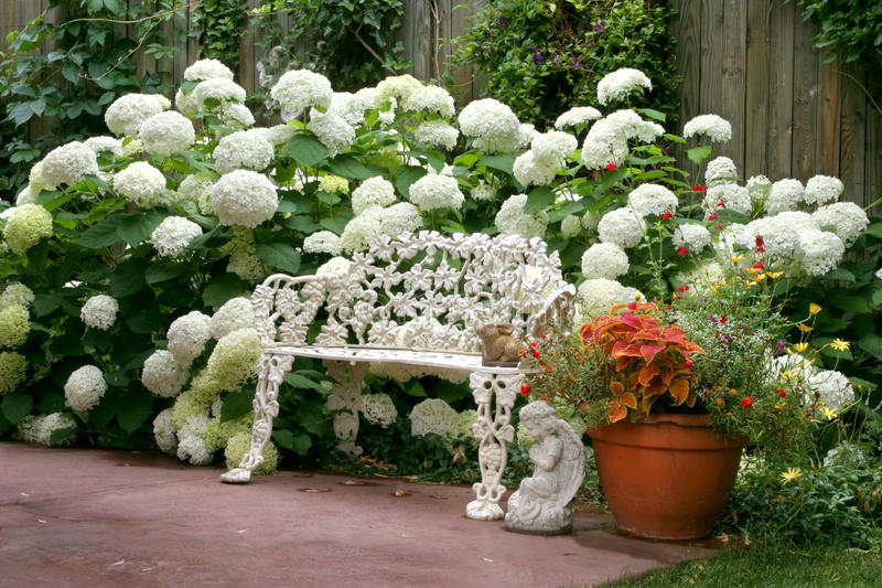 Garden Oasis. White flower heads of the Annabell Hydrangeas surround a garden bench, creating a garden oasis royalty free stock photo