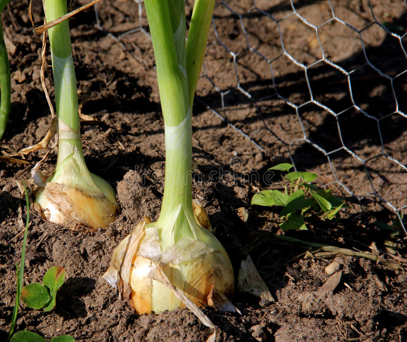 Garden Onions Royalty Free Stock Photography
