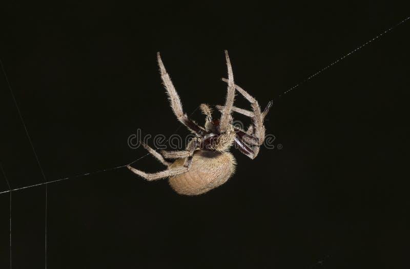Garden Orb Weaver spider. In a Sydney garden, Australia royalty free stock image