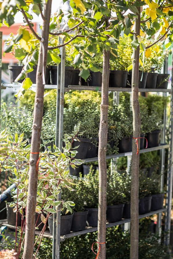 Garden, ornamental grasses and plants in the garden market on vertical shelves in pots stock photography