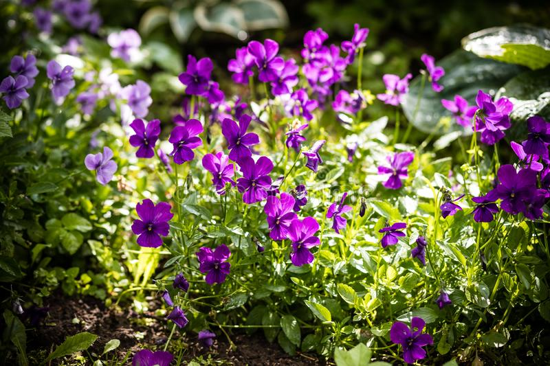 Garden pansy. Violet pansy flower.Hybrid pansy or Viola tricolor pansy in flowerbed. Violet flower in the spring garden royalty free stock photography