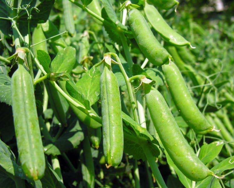 Garden pea stock photos