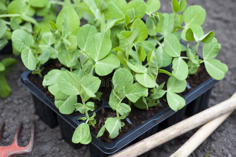 Garden Pea Plants stock photography