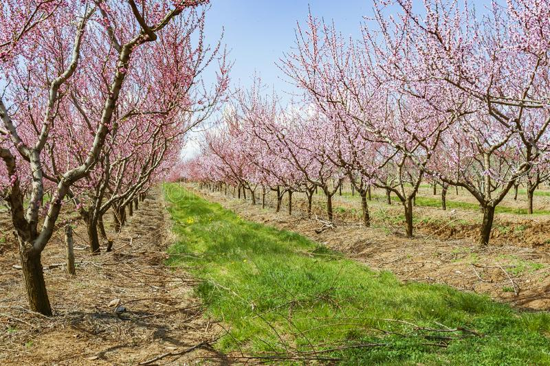 Garden with peach trees during flowering royalty free stock image