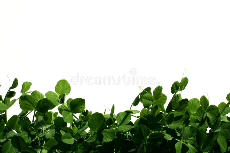 Download Garden peas stock photo. Image of garden, healthy, suburban - 114006