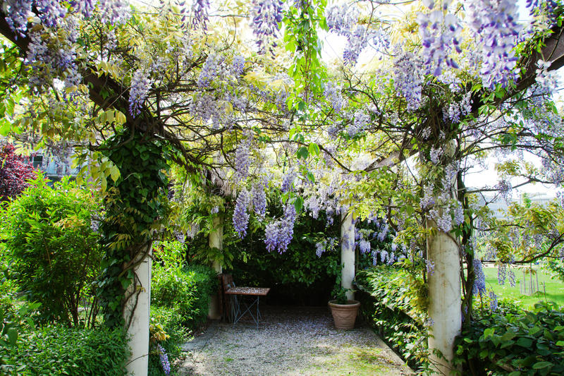 Download Garden Pergola With Chinese Wisteria Stock Photo
