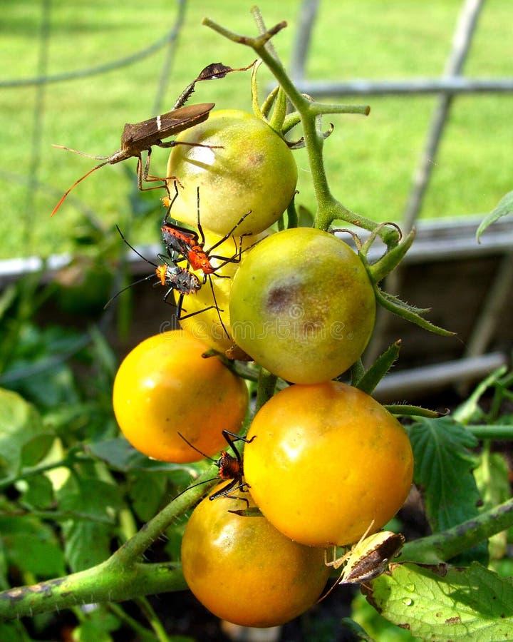 Garden bugs on cherry tomatoes royalty free stock photos