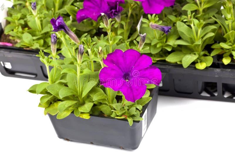 Garden Petunias royalty free stock images