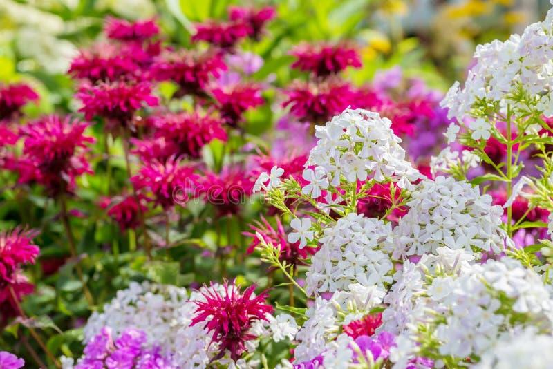 Garden Phlox and Bee Balm. White garden pholox and bee balm in the summer garden royalty free stock image