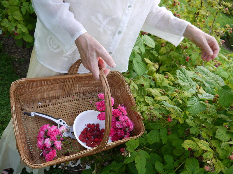 Garden: picking fresh raspberries stock photo