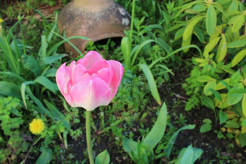 Garden pink rose stock image