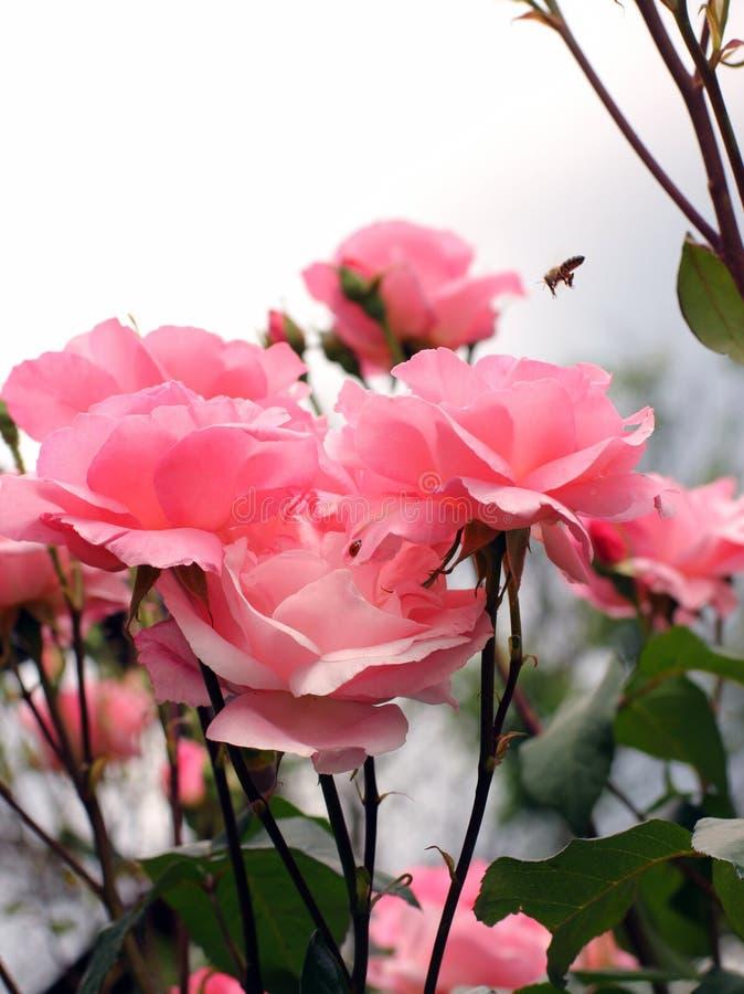 Garden pink roses stock photos