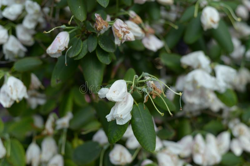 Garden Plant Blooming in white and yellow Detail. Summer time inside of a garden with rhododendron plants bushes in detailed review and documentation royalty free stock photography