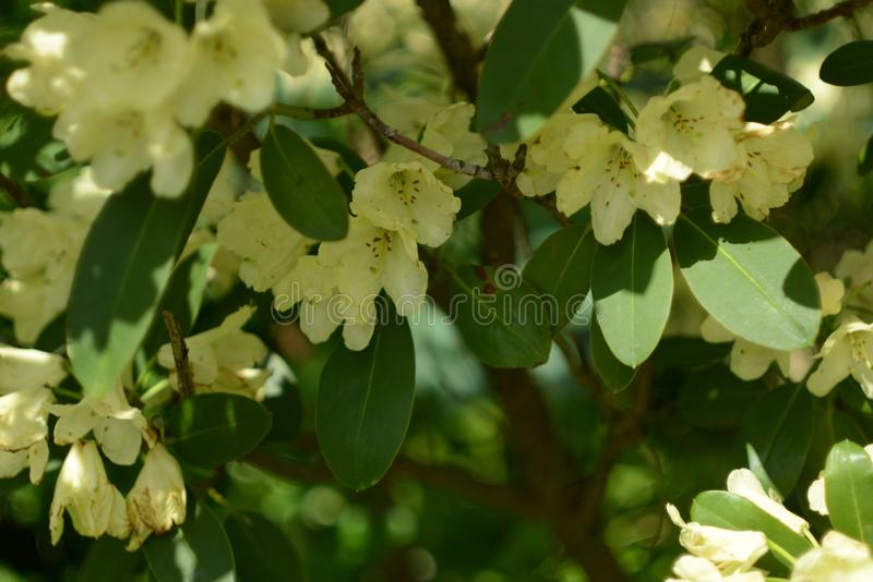 Garden Plant Blooming in white and yellow Detail. Summer time inside of a garden with rhododendron plants bushes in detailed review and documentation stock photo