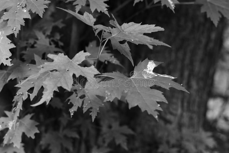 Garden Plant green leafs of a Acer Campestre. Summer time inside of a garden with hige and small leafs of different sizes, plants bushes in detailed review and royalty free stock images