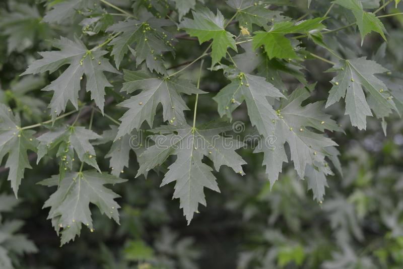 Garden Plant green leafs of a Acer Campestre royalty free stock images