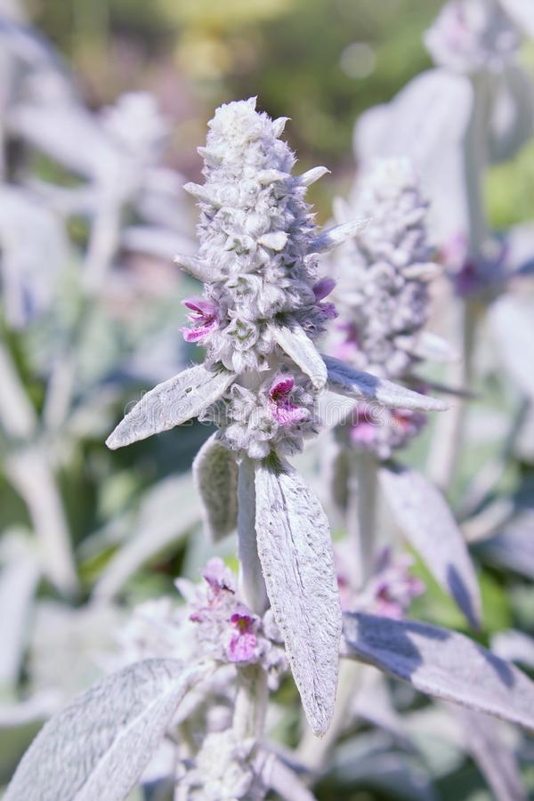 Stachys byzantina Lambs Ears, close up stock photography