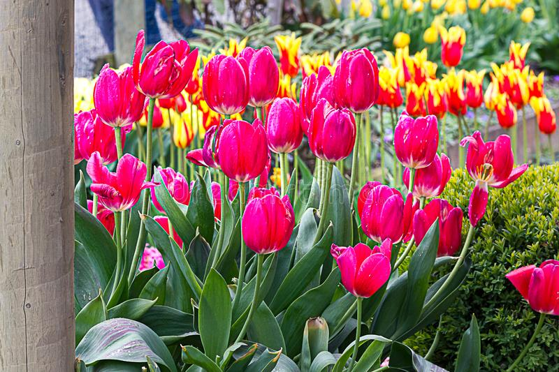 Garden planting of tulips going into distance with pink, orange and yellow. Planted in sunshine royalty free stock images